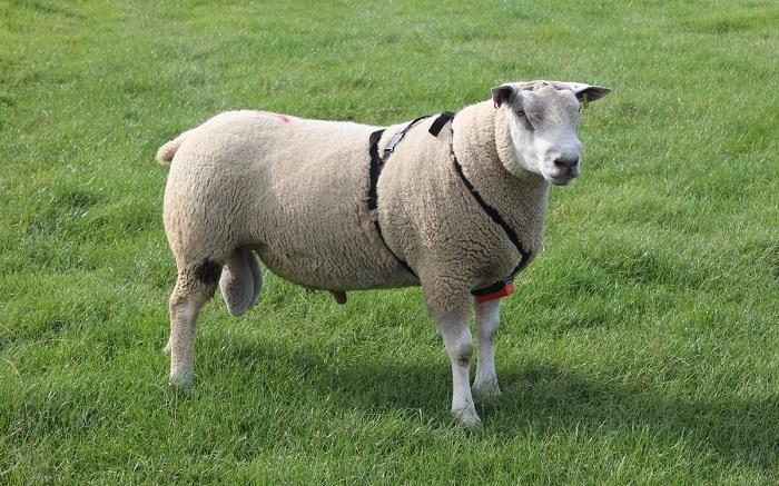 Вандейская овца