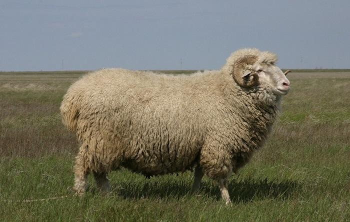кавказский баран
