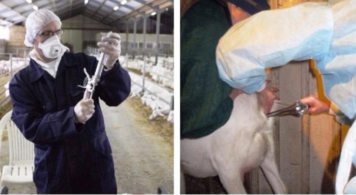 ветеринар с устройством осеменения