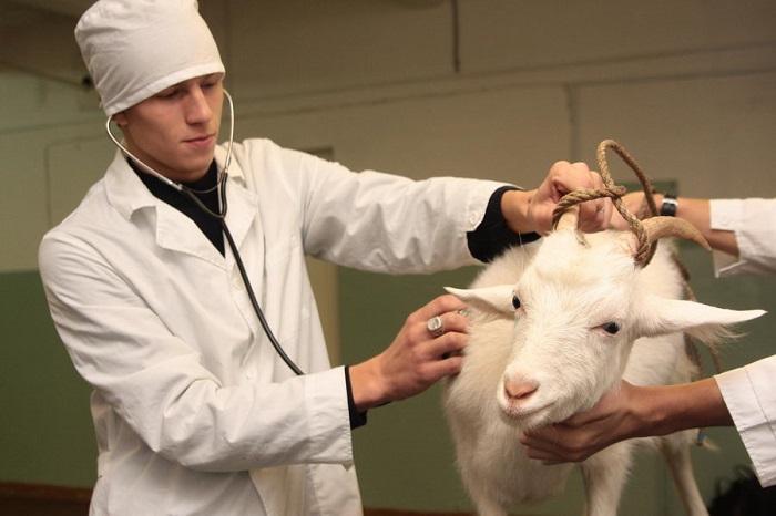 осмотр козы перед осеменением