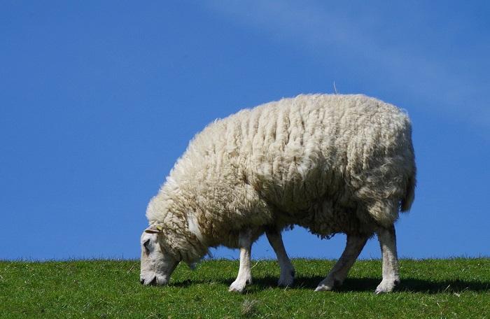 шерстяная овечка на голубом фоне