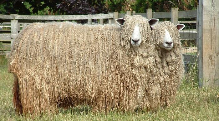 очень длинная шерсть овцы