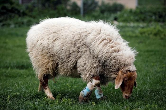 пушистая овца