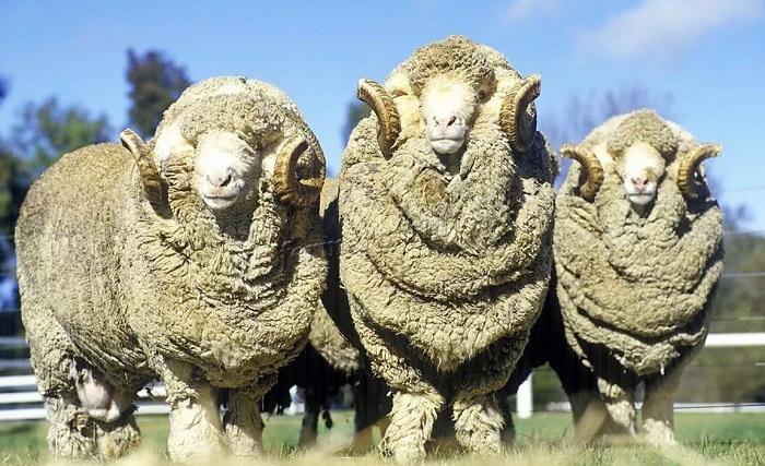 Австралийские овцы-мериносы