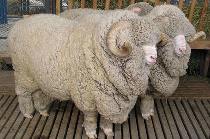советские мериносные овцы