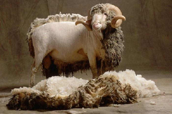стрижка шерстяной овцы