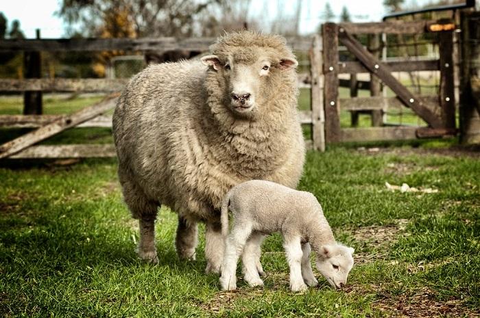 шерстяная овцы и ребенок