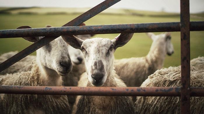 две овцы смотрят через железный забор