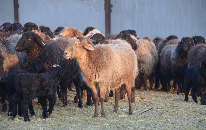 обычные овцы