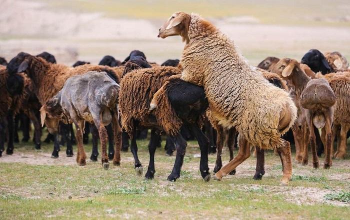 спаривание овец в стаде