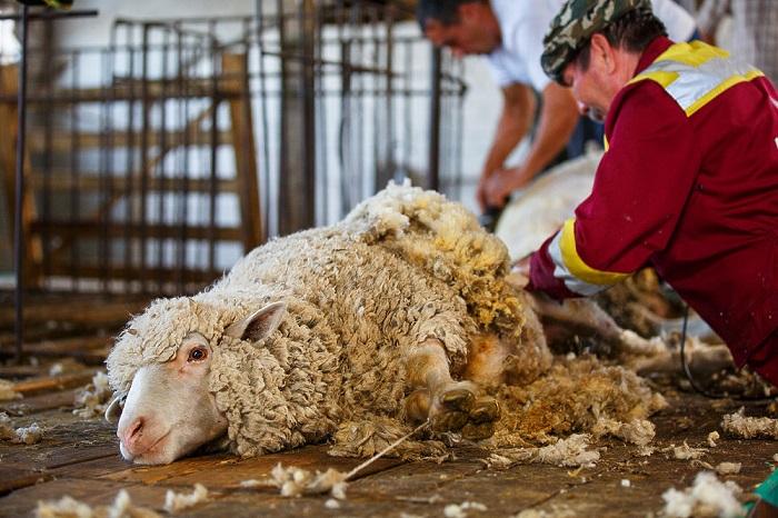 профессиональная стрижка овец