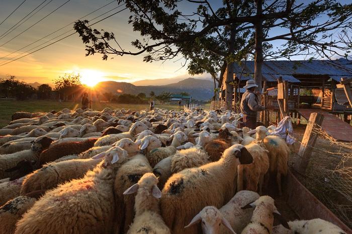 отара овец в загоне под деревом