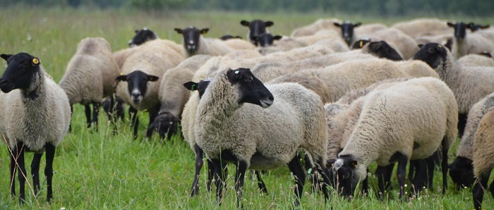 романовское стадо овечек