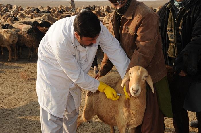 вакцинация светло-коричневой овцы