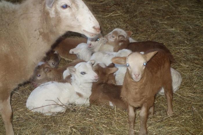 ягнята катумской породы и овцы
