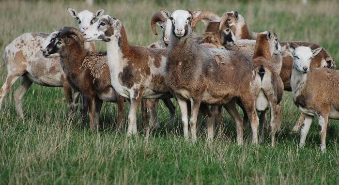 отара пятнистых овец