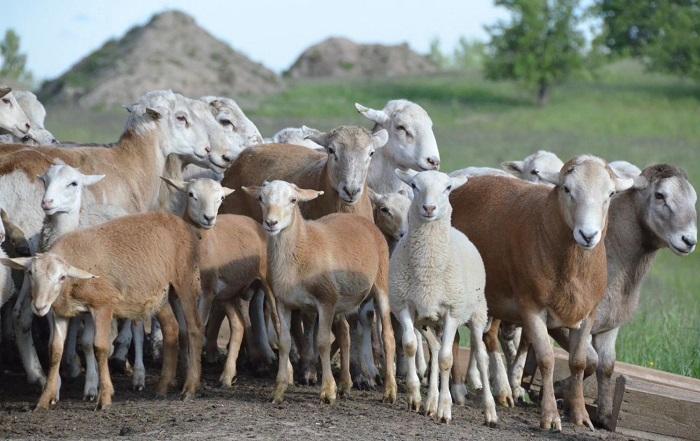 стая катунских овец