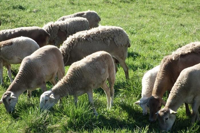овцы пасутся на траве