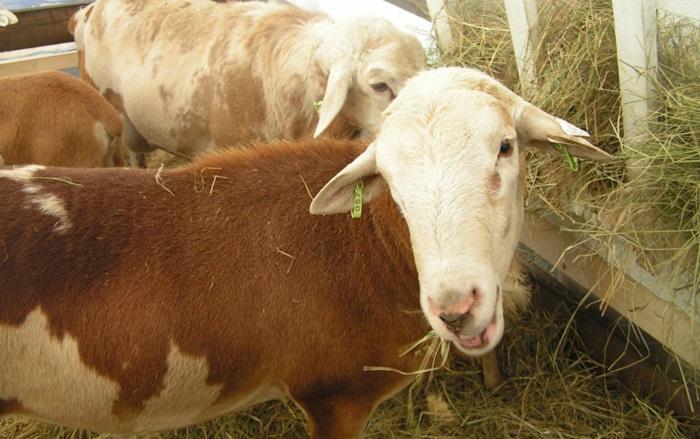 пятнистая овца ест сено