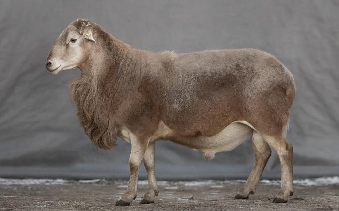мясная овца на сером фоне