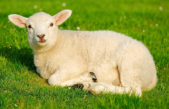 бежевая овца