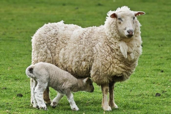 асканийская овца и ягненок