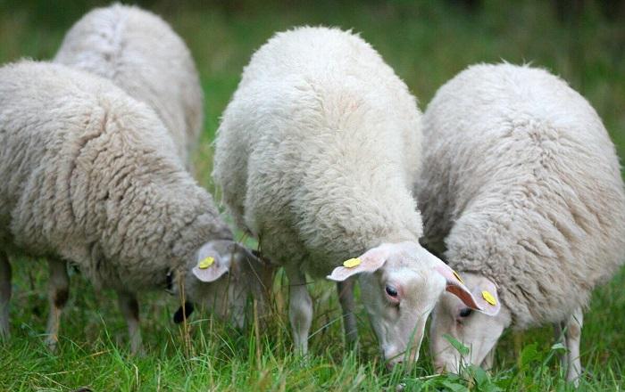 белые овцы едят траву
