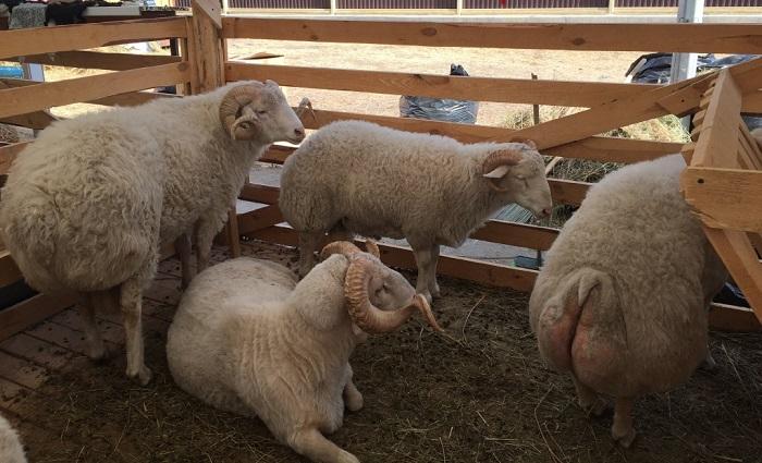 тушинская порода овец