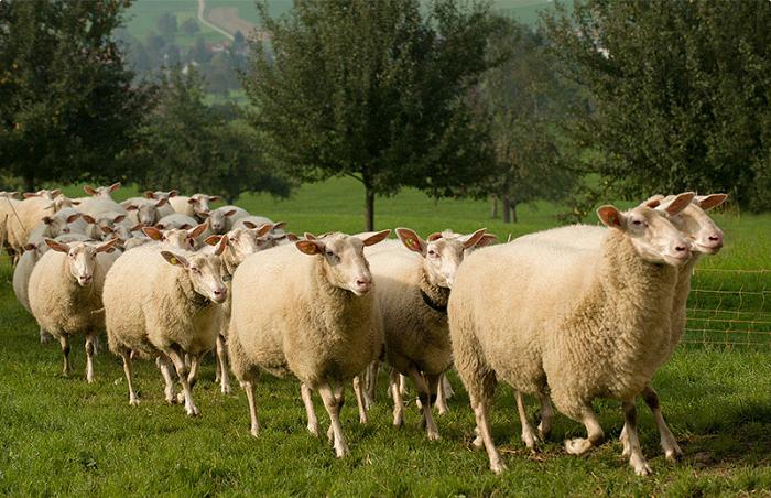 вест-фризская порода овец