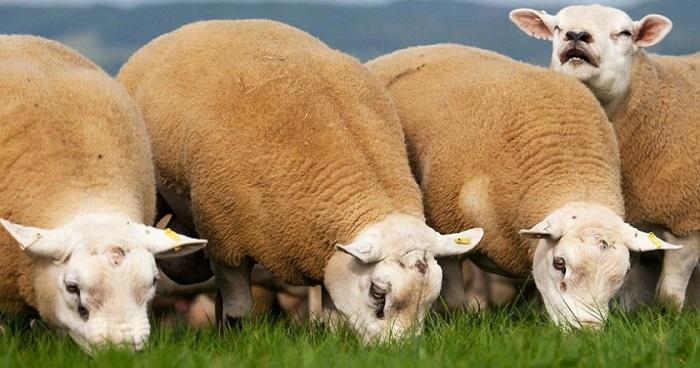 мясистые овцы едят траву