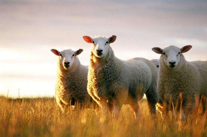 три мясных барана