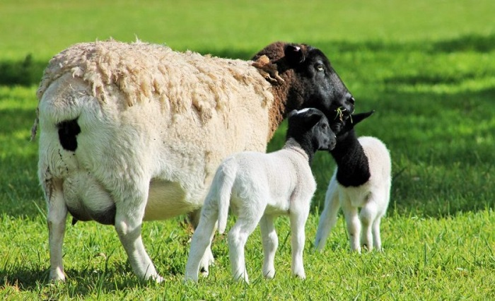 овца и ягненок дорпер