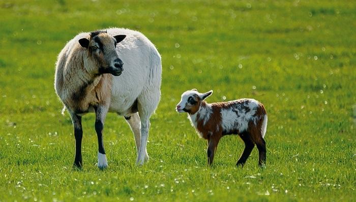 овца и пятнистый ягненок