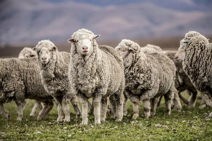 отара кавказских овец
