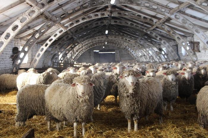 кошара куйбышевских овец
