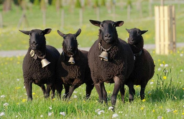 черные овцы с колокольчиком