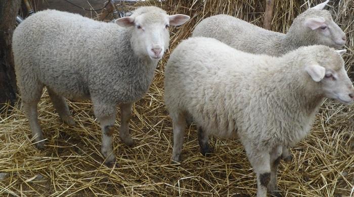 обычные белые короткошерстные овцы