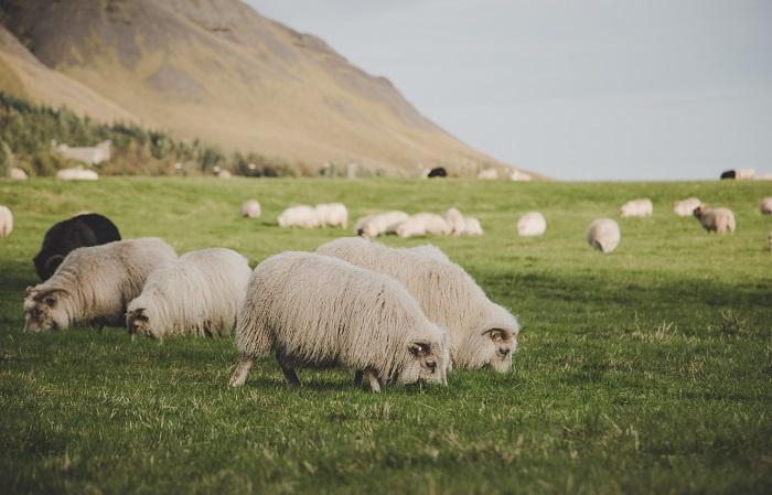 красивое фото овец на пастбище