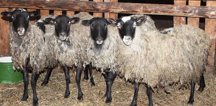 четыре романовские овцы