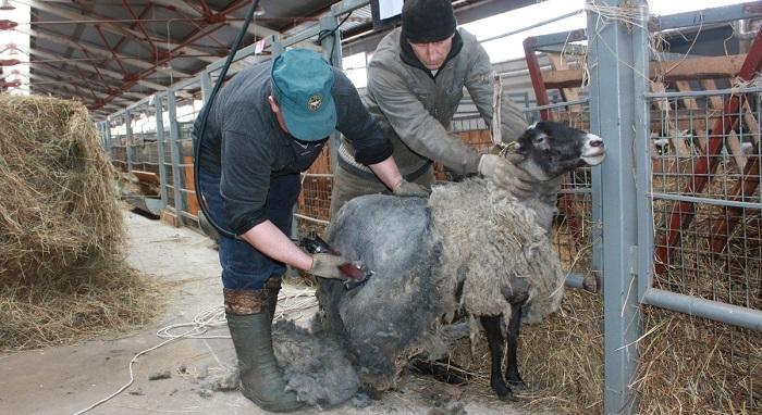 стрижка черной овцы
