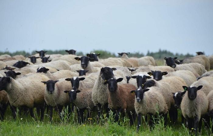 стадо черноголовых овец