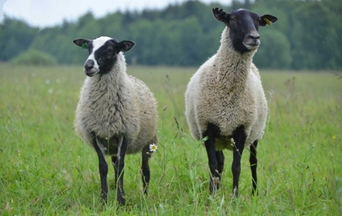 черная голова серое тело овцы