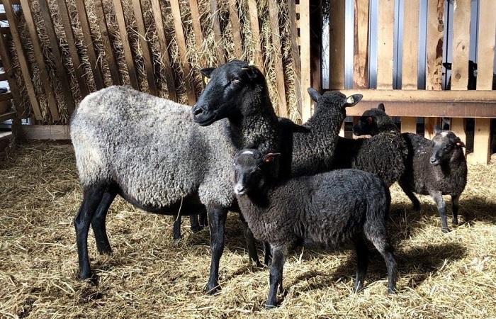 романовские овцы у забора