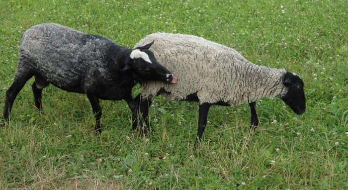 баран и овца рамановской породы