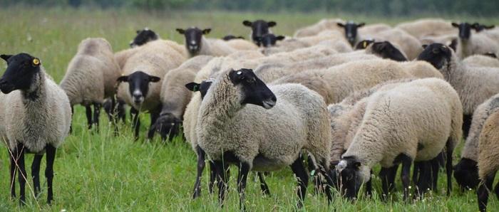 черноголовая стая овец