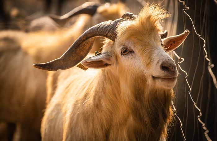 рыжая коза