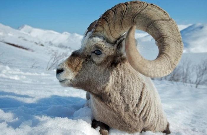 баран большерогий на снегу