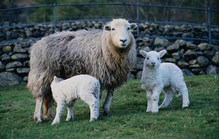 казахские овечки