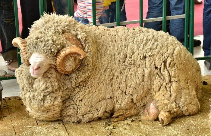 овца длинношерстная