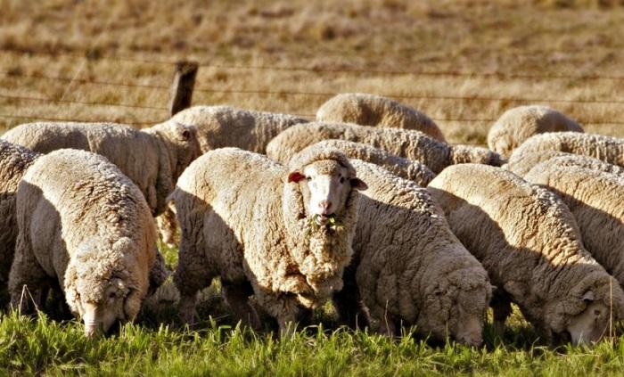 отара шерстяных овец